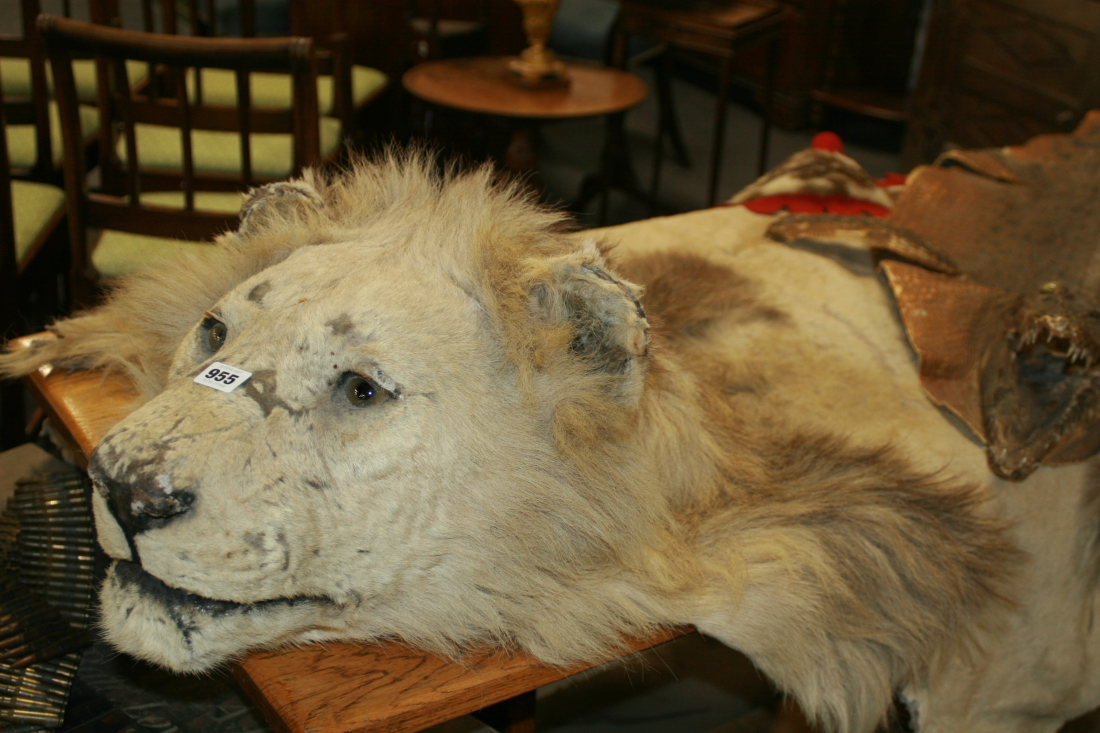 Great Lot 955   A LARGE LION SKIN RUG WITH MOUNTED HEAD