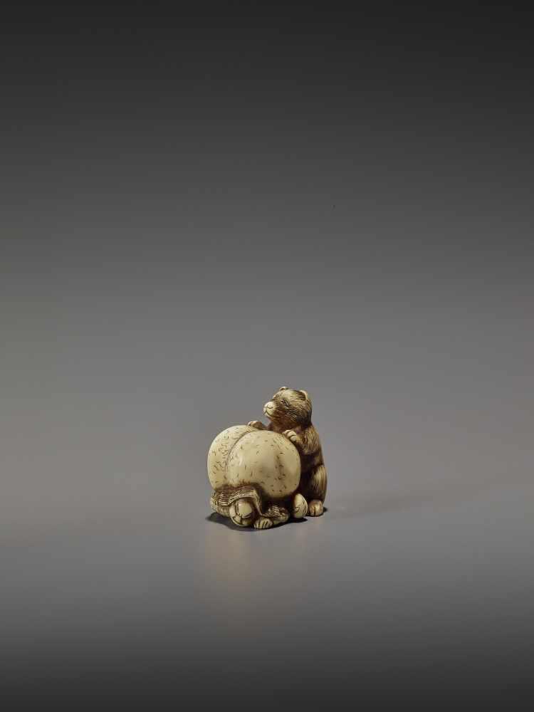 SHUNGETSU: IVORY NETSUKE OF A TANUKI SUFFOCATING A HUNTER WITH HIS SCROTUM By Shungetsu, signed