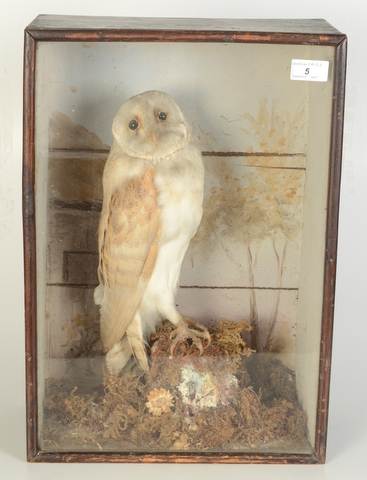 Lot 5 - A taxidermy barn owl, perched on a tree stump in a glazed wooden display case, height 48cm,