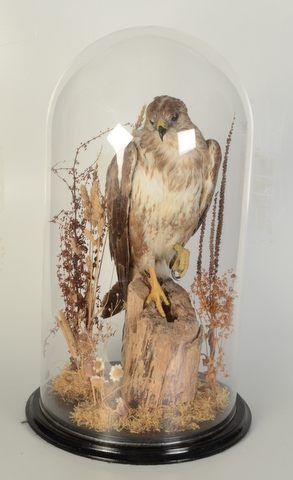 Lot 50 - Taxidermy, a buzzard perched on a tree stump, under a glass dome and on an ebonised plinth,