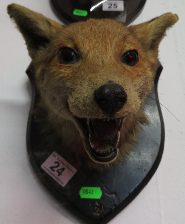 Lot 24 - Taxidermy fox mask