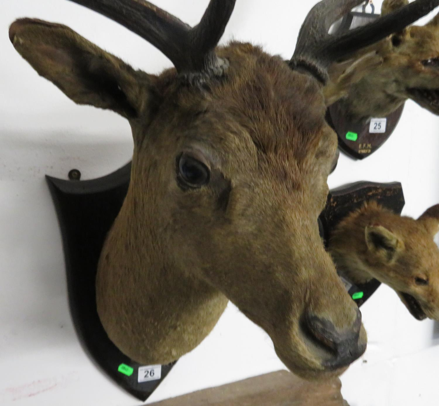 Lot 26 - Large stag's head