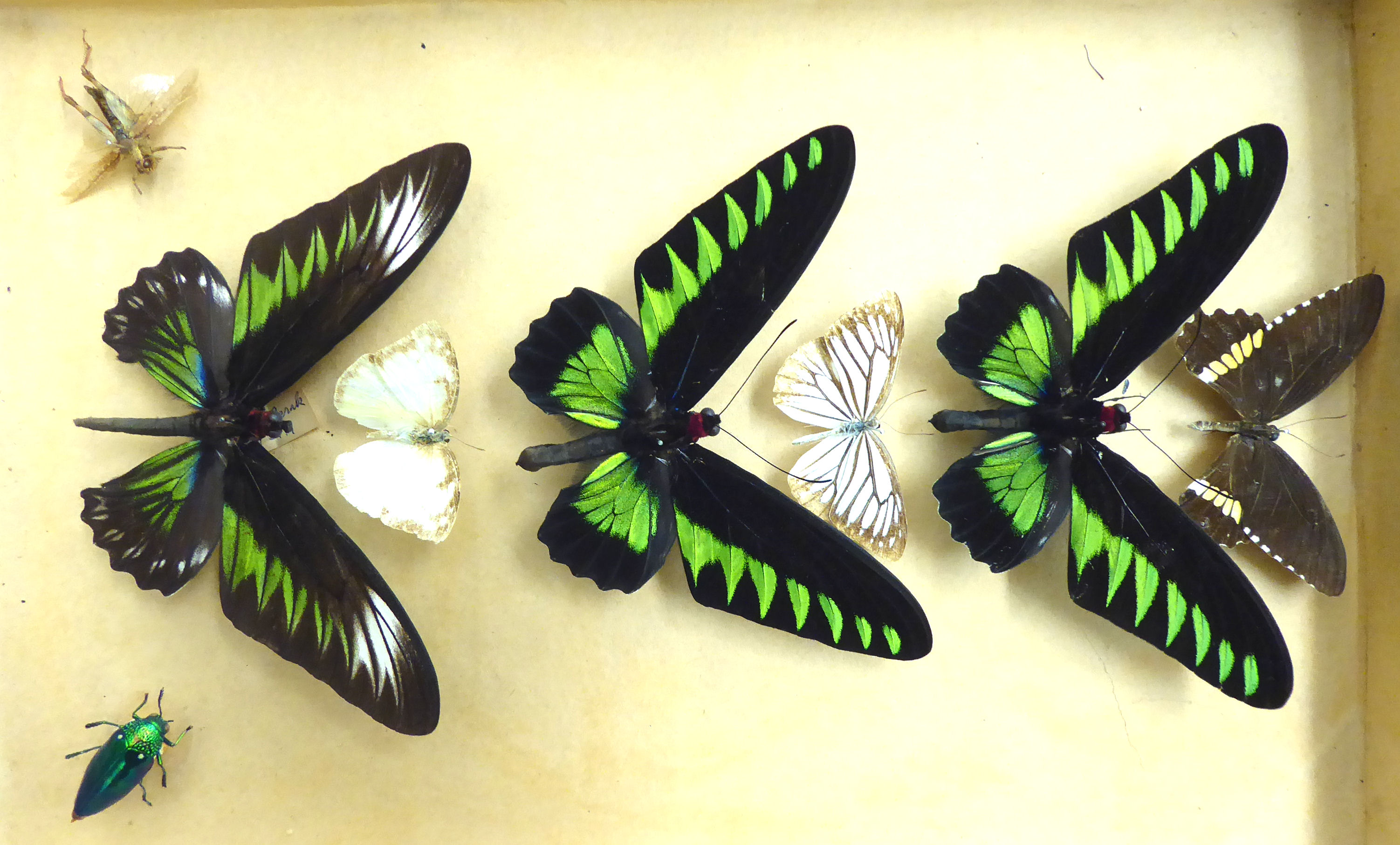 Lot 25 - A small 'captured' display of exotic butterflies and other insects OS1