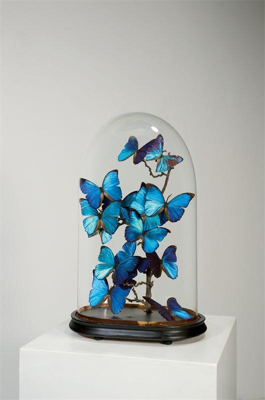 Los 334 - Französisch (19. Jahrhundert)Blaue Morphofalter unter Glassturz. Präparate: Morpho menelaus