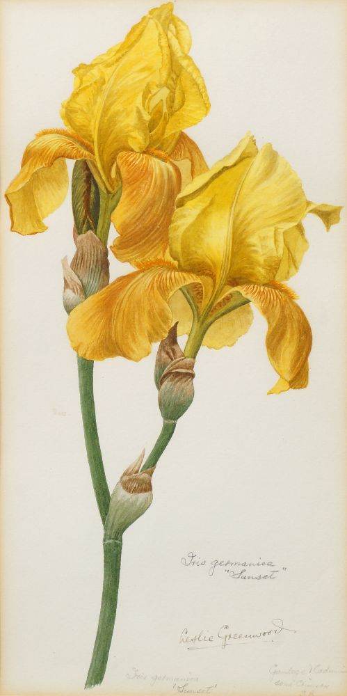 Lot 68 - Leslie William Avery Greenwood, British 1907-1987- Iris Germania Sunset; watercolour, signed, titled