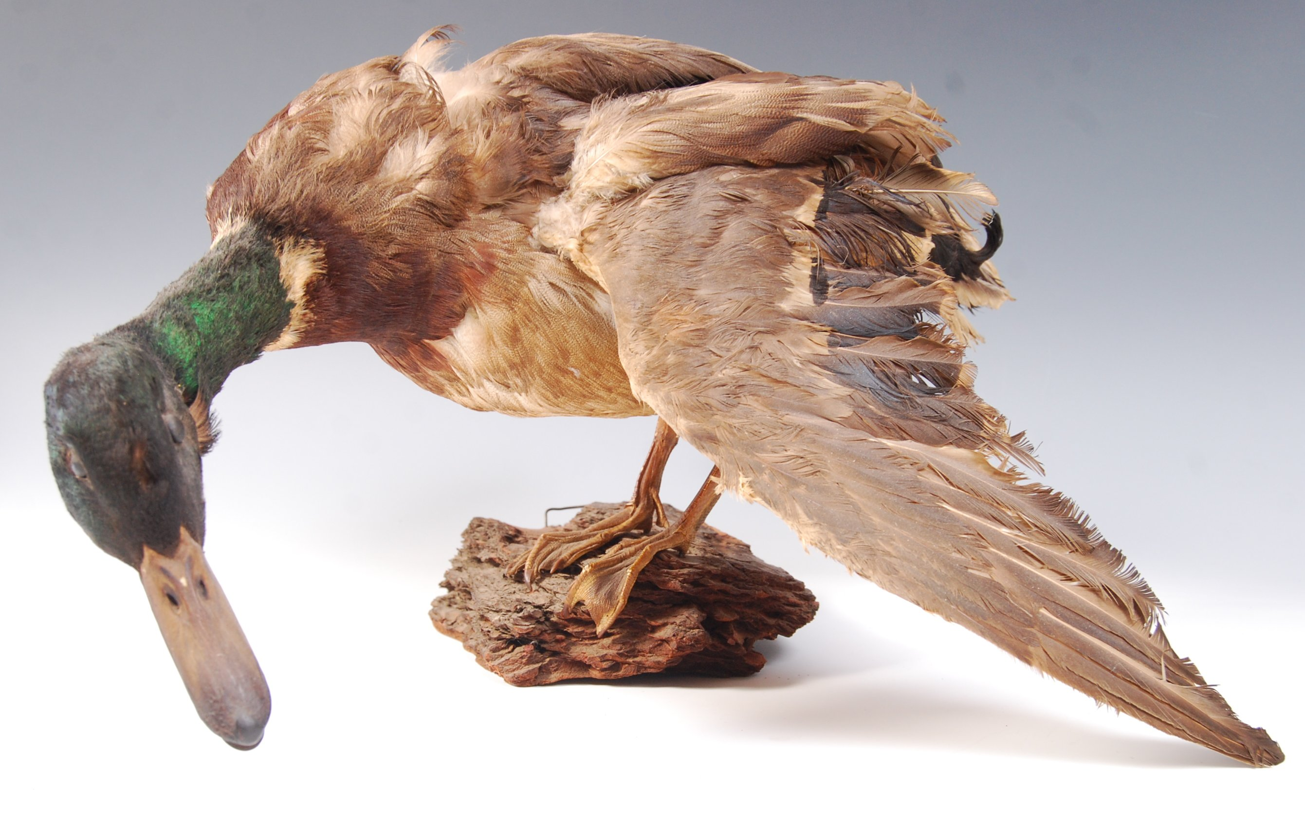 Lot 57 - ANTIQUE VINTAGE TAXIDERMY MALLARD DUCK ON WOODEN NATURALISTIC BASE