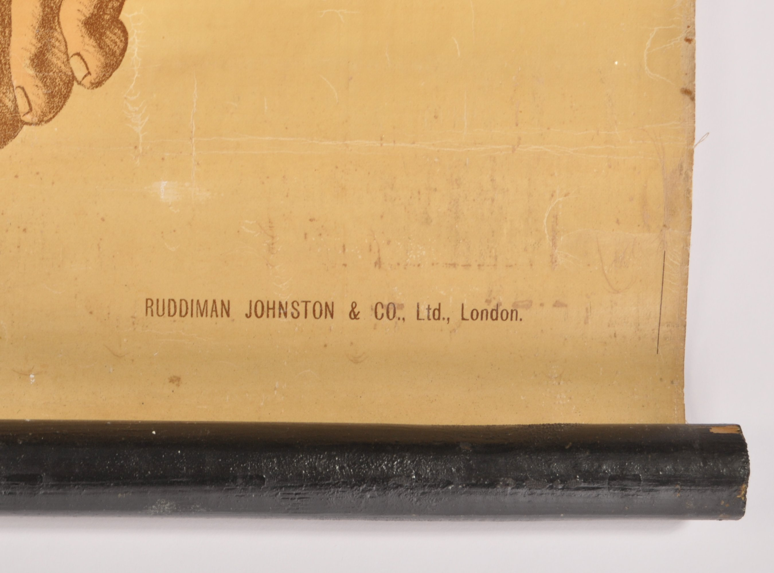 Lot 33 - EARLY 20TH CENTURY RUDDIMAN JOHNSTON & CO LTD ANATOMICAL CHART