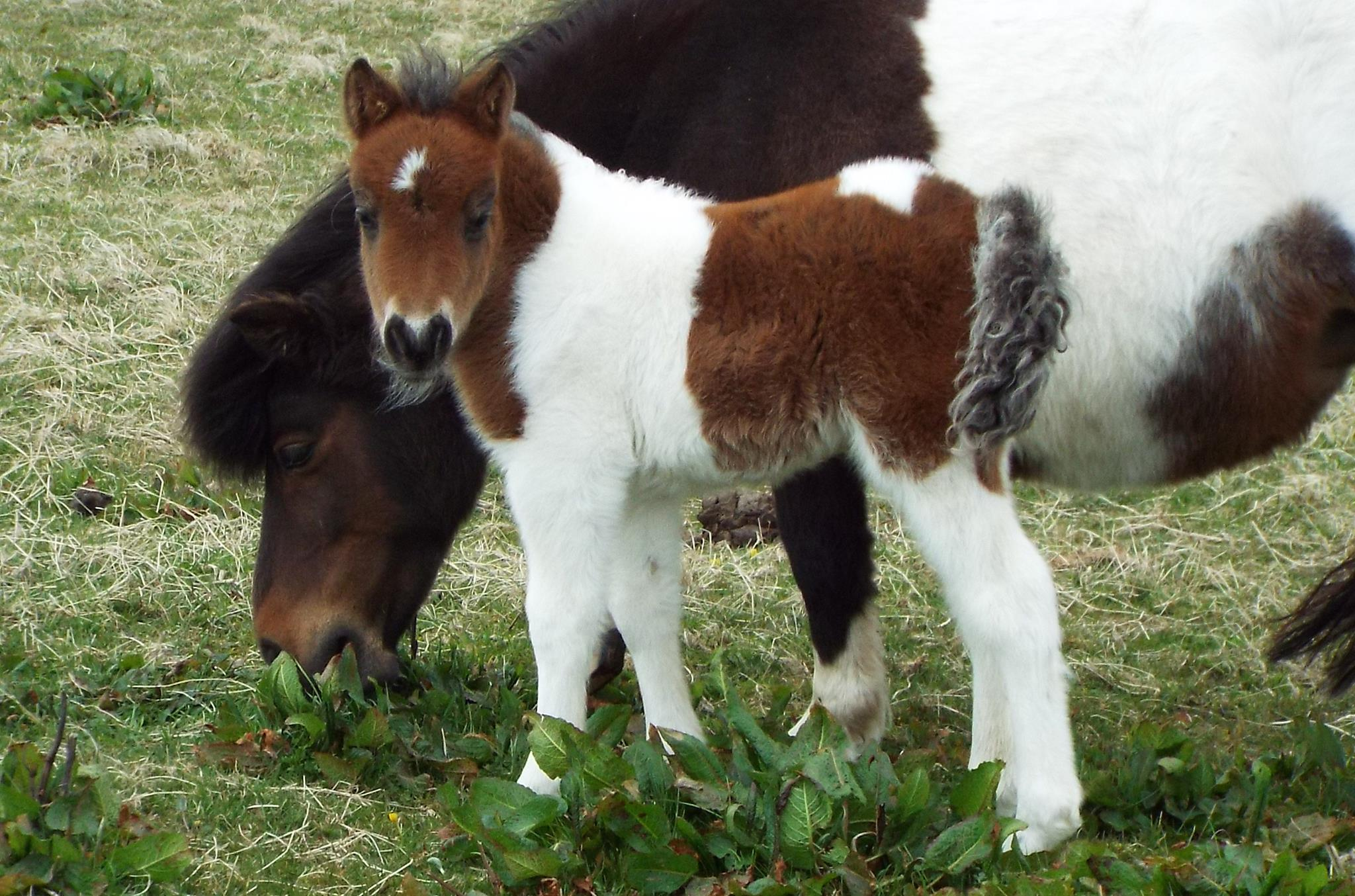 Lot 57 - Bay & White Skewbald - Standard - Filly Foal, - DOB: 2nd May 2017