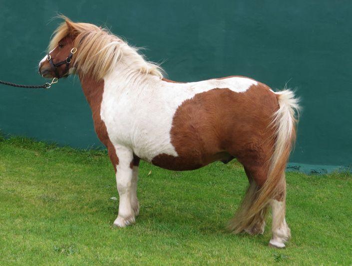 "Lot 48 - Skewbald - 40.75"" - Licensed Stallion, - DOB: 1st May 2006"