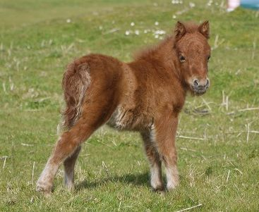 Lot 24 - Chestnut - Miniature - Colt Foal, - DOB: 3rd May 2017
