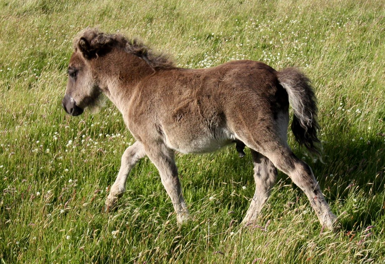 Lot 3 - Black - Standard - Colt Foal, - DOB: 20th May 2017