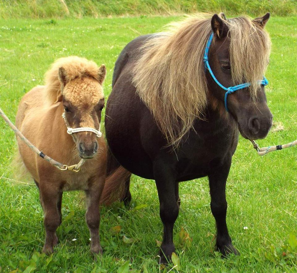 Lot 52 - Cream Chestnut Dun - Miniature - Colt Foal, - DOB: 5th May 2017