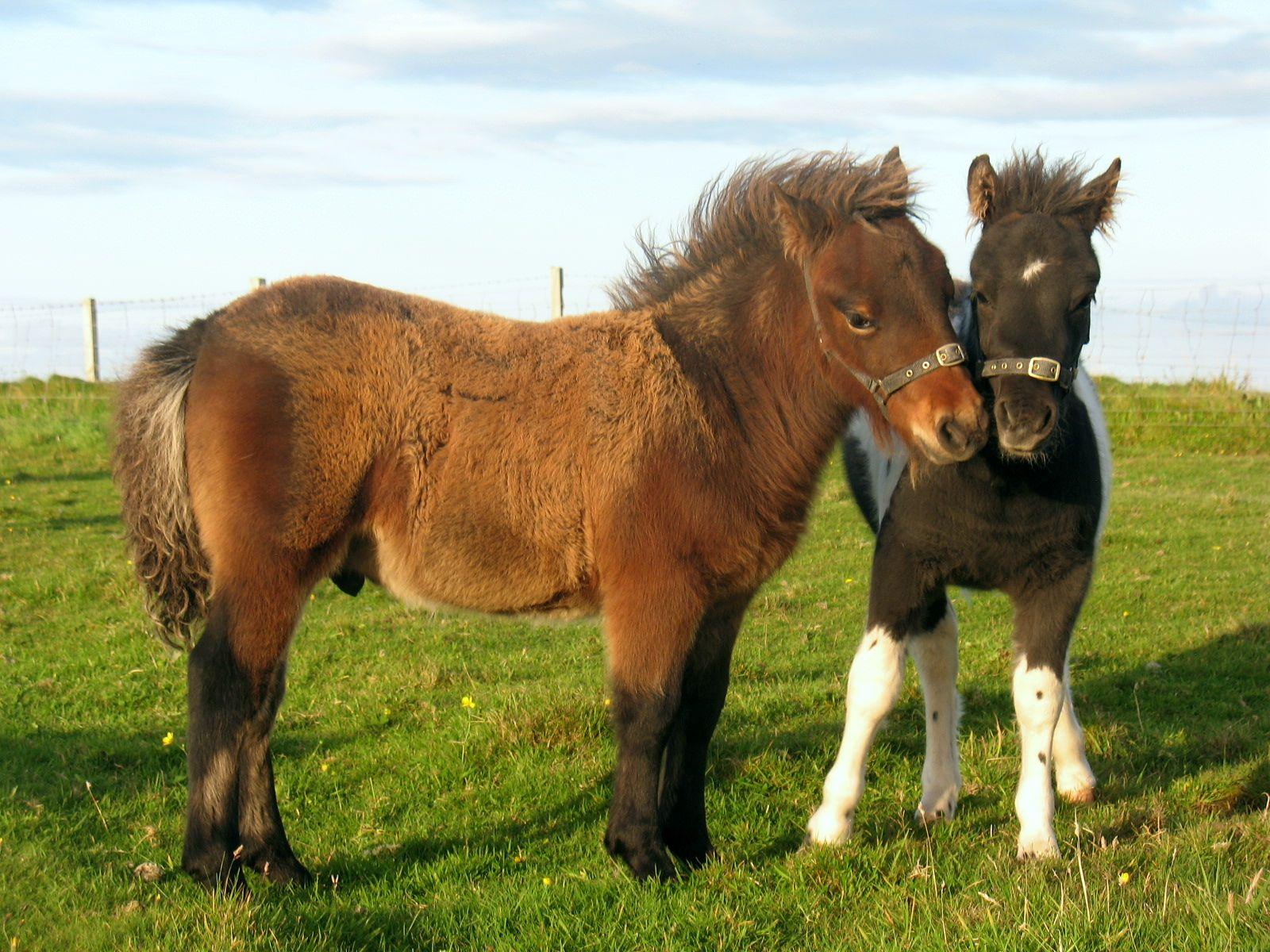 Lot 4 - Bay - Standard - Colt Foal, - DOB: 1st June 2017