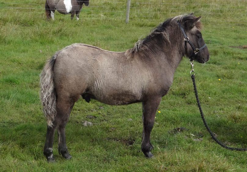 Lot 43 - Silver Dun - Standard - Colt Foal, - DOB: 15th May 2017