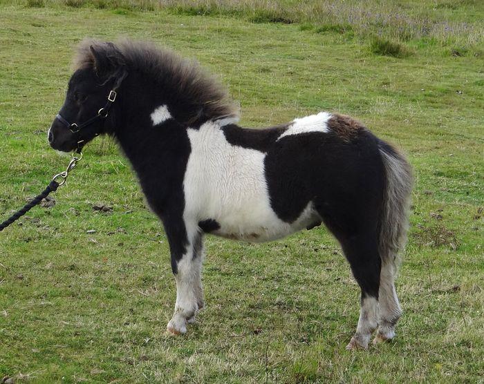 Lot 47 - Piebald - Miniature - Colt Foal, - DOB: 13th May 2017