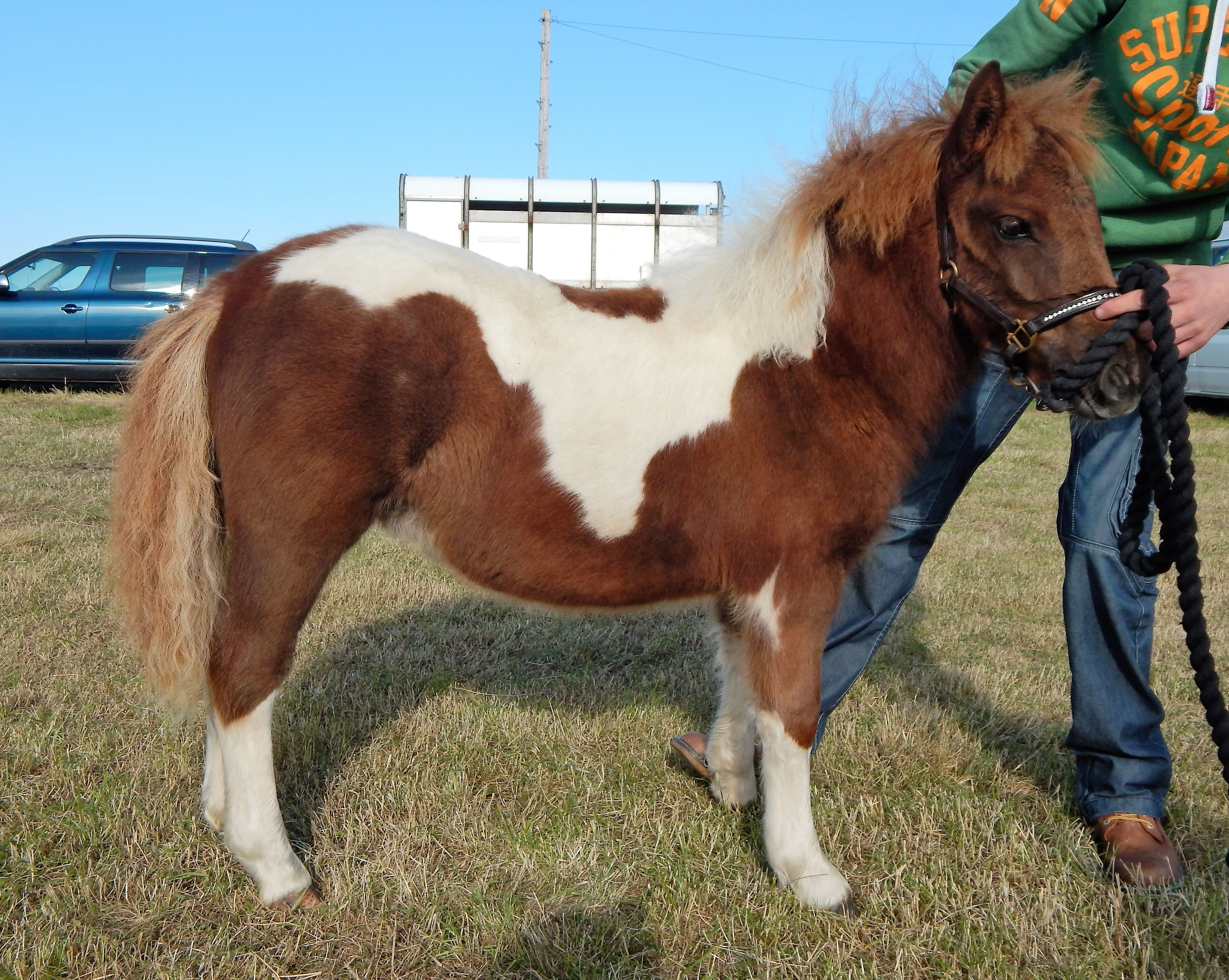 Lot 37 - Skewbald - Standard - Filly Foal, - DOB: 30th April 2017