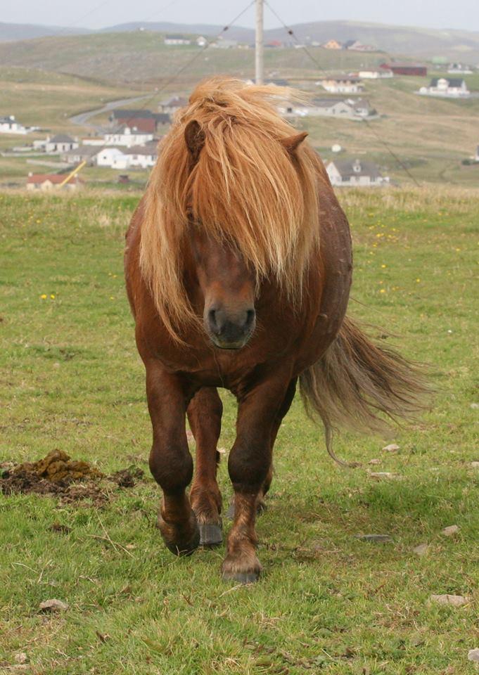 "Lot 23 - Chestnut - 41"" - Licensed Stallion, - DOB: 5th May 2011"