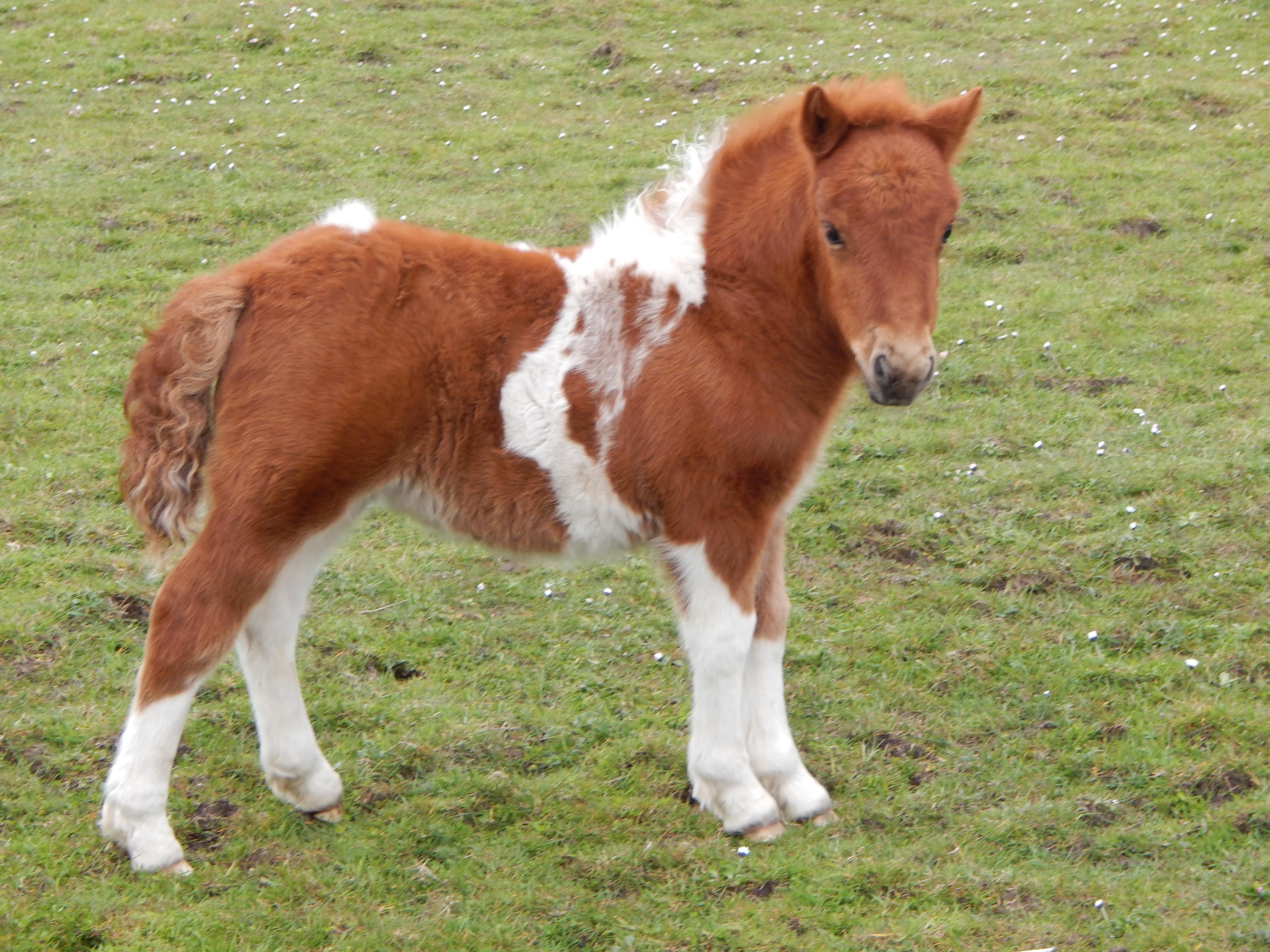 Lot 36 - Skewbald - Standard - Filly Foal, - DOB: 23rd April 2017