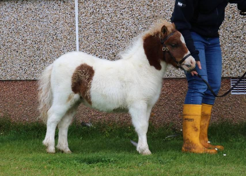 Lot 10 - Skewbald - Miniature - Colt Foal, - DOB: 26th May 2017