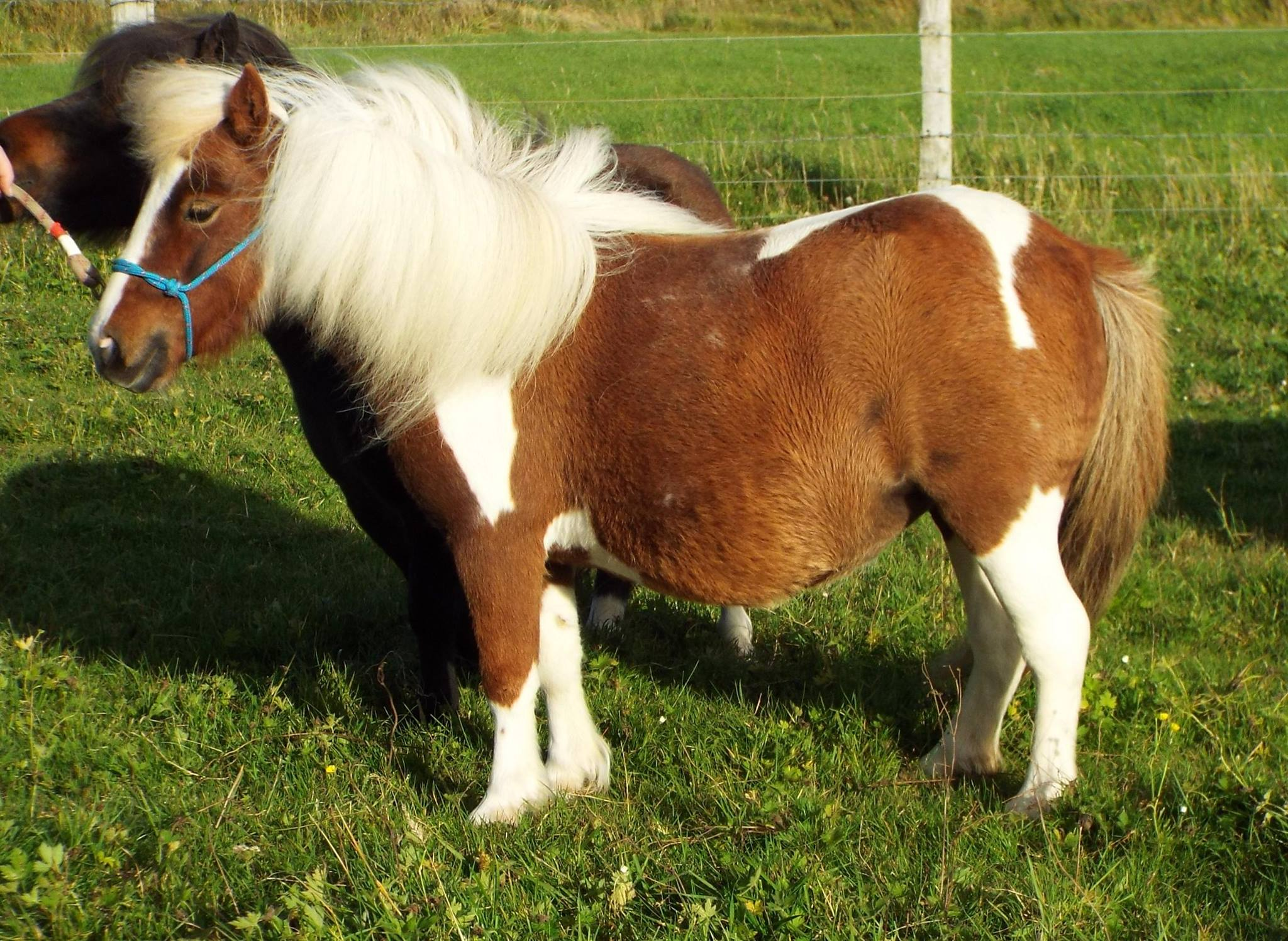Lot 60 - Skewbald - Miniature - Mare, - DOB: 2nd April 2013