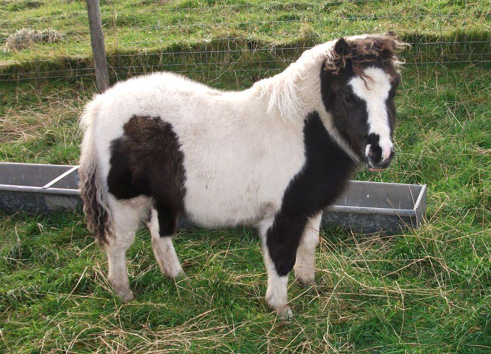 Lot 49 - Piebald - Miniature - Filly Foal, - DOB: 19th May 2017