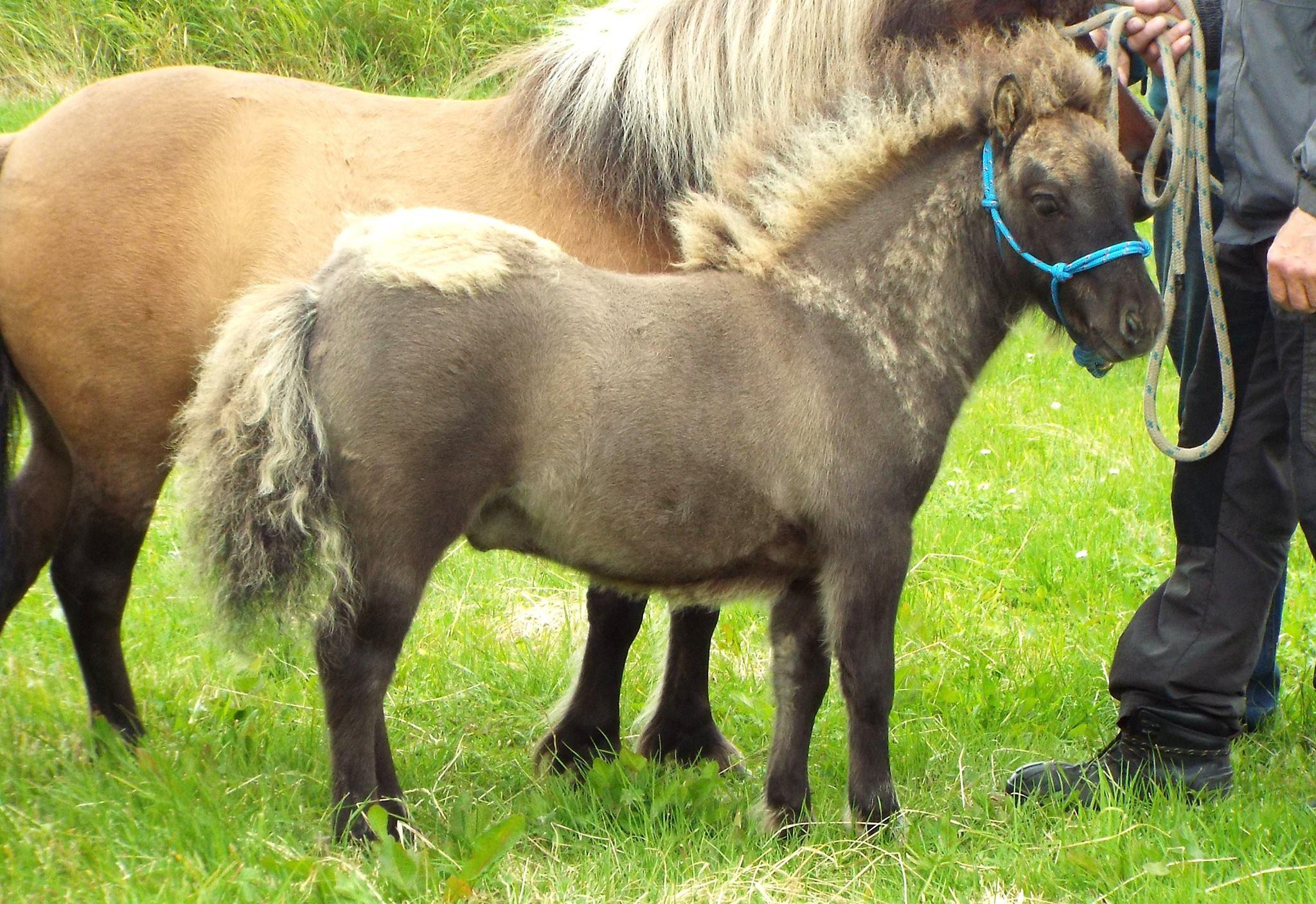 Lot 56 - Mouse/Blue Dun - Miniature - Colt Foal, - DOB: 4th May 2017