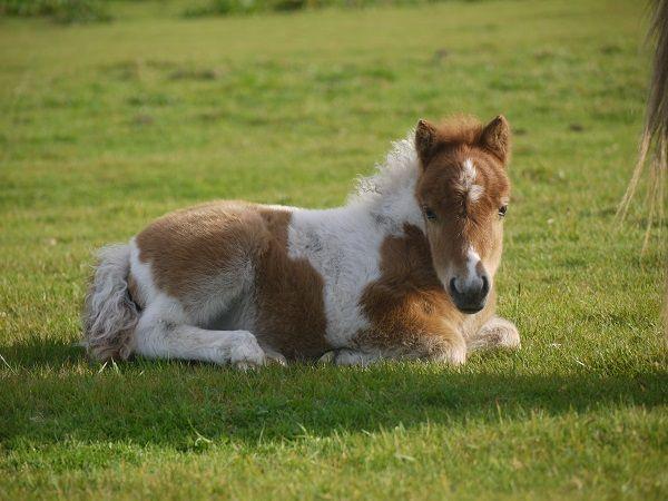 Lot 25 - Skewbald - Miniature - Colt Foal, - DOB: 3rd May 2017