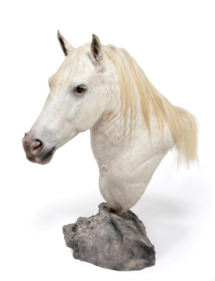 Lot 2047 - Taxidermy: A High Quality Light Grey Horse Shoulder Mount on Pedestal (Equus ferus caballus),