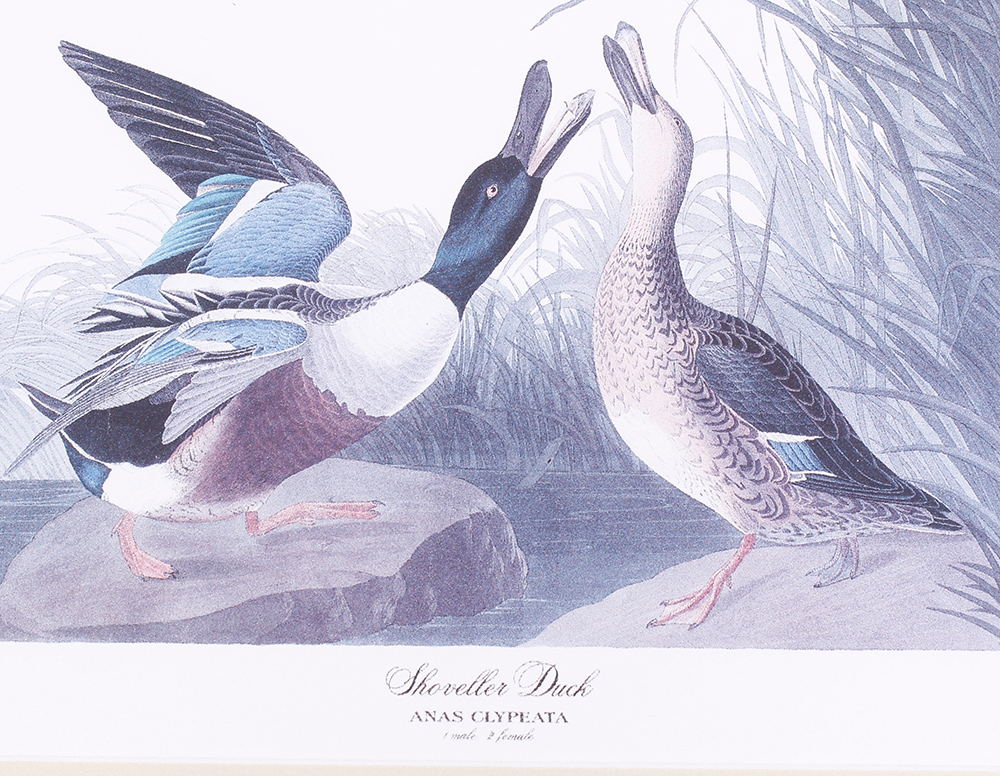 Four framed and glazed series prints: Shoveller Duck; Bemaculated Duck; Long-tailed Duck; Ruddy Duck - Image 4 of 6