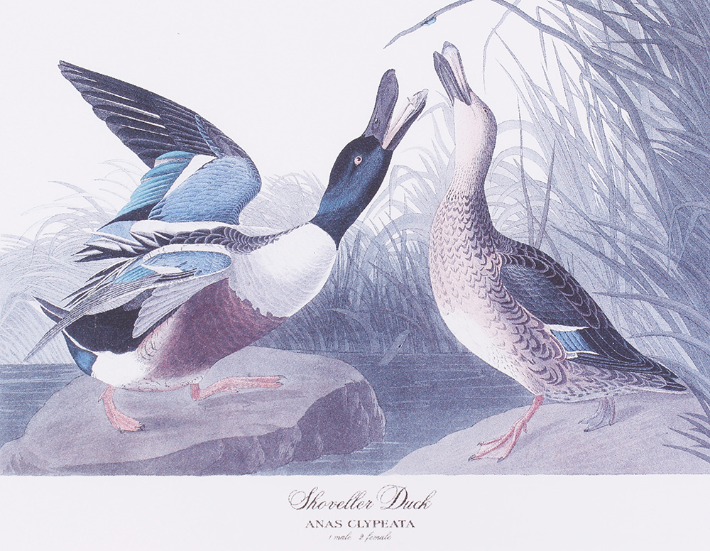 Four framed and glazed series prints: Shoveller Duck; Bemaculated Duck; Long-tailed Duck; Ruddy Duck - Image 5 of 6