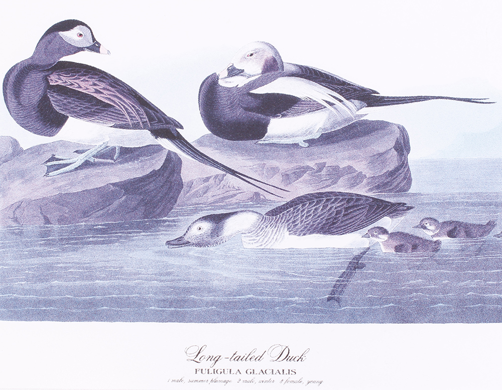 Four framed and glazed series prints: Shoveller Duck; Bemaculated Duck; Long-tailed Duck; Ruddy Duck