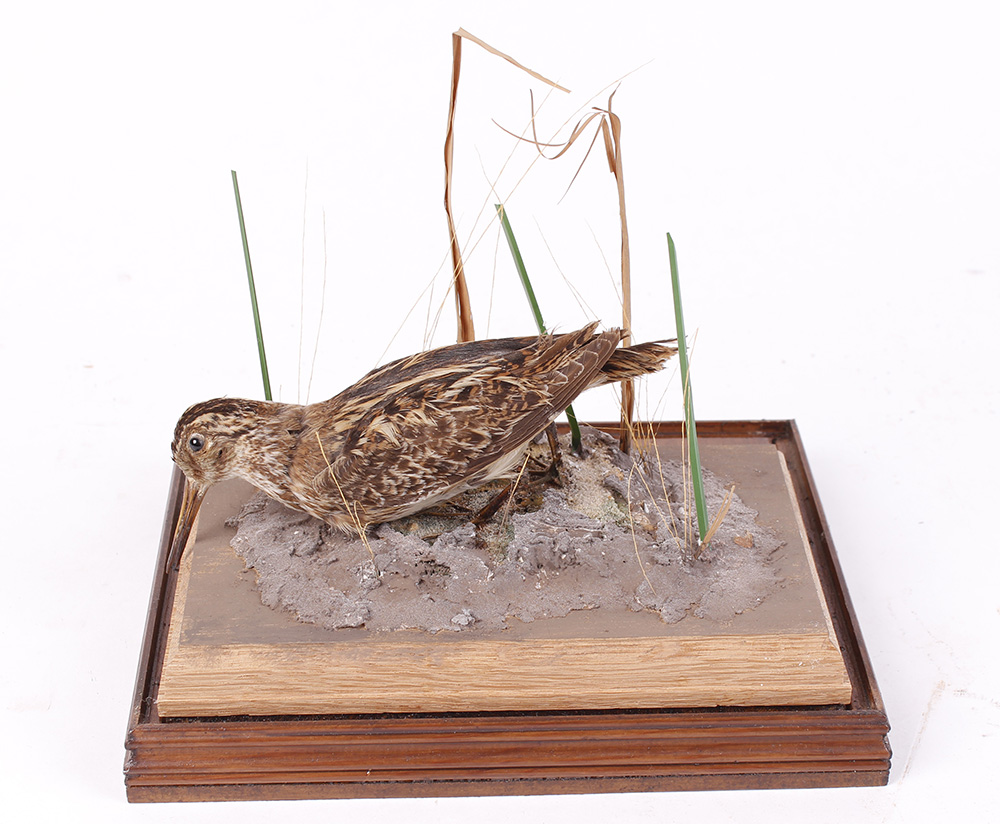 Jack Snipe on habitat base within a fully glazed wall mounted case, 9¼ ins x 8¼ ins x 7½ ins