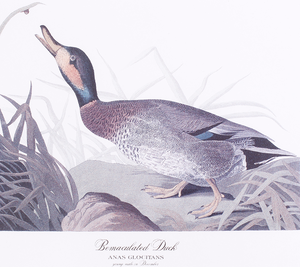 Four framed and glazed series prints: Shoveller Duck; Bemaculated Duck; Long-tailed Duck; Ruddy Duck - Image 6 of 6