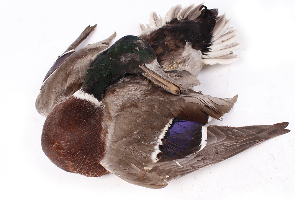 Table cape mounted Mallard Drake