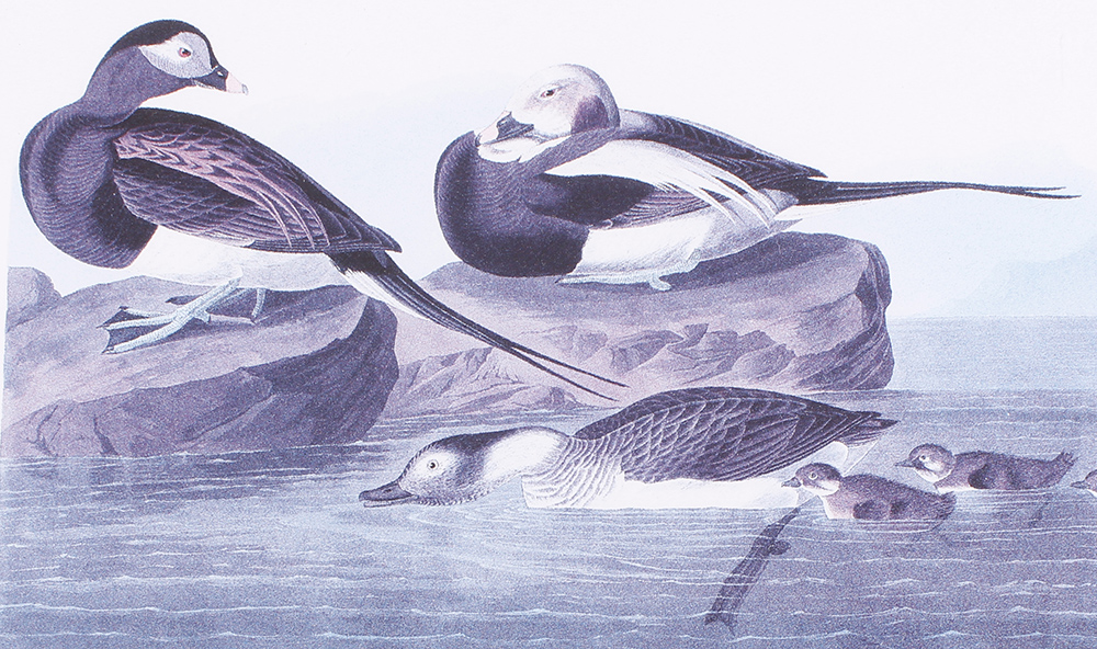 Four framed and glazed series prints: Shoveller Duck; Bemaculated Duck; Long-tailed Duck; Ruddy Duck - Image 2 of 6