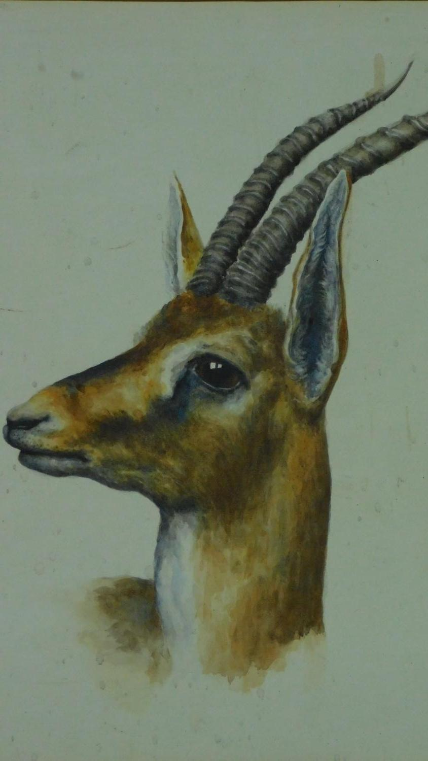 A framed watercolour, gazelle, inscription to mount. 73x59cm - Image 2 of 5