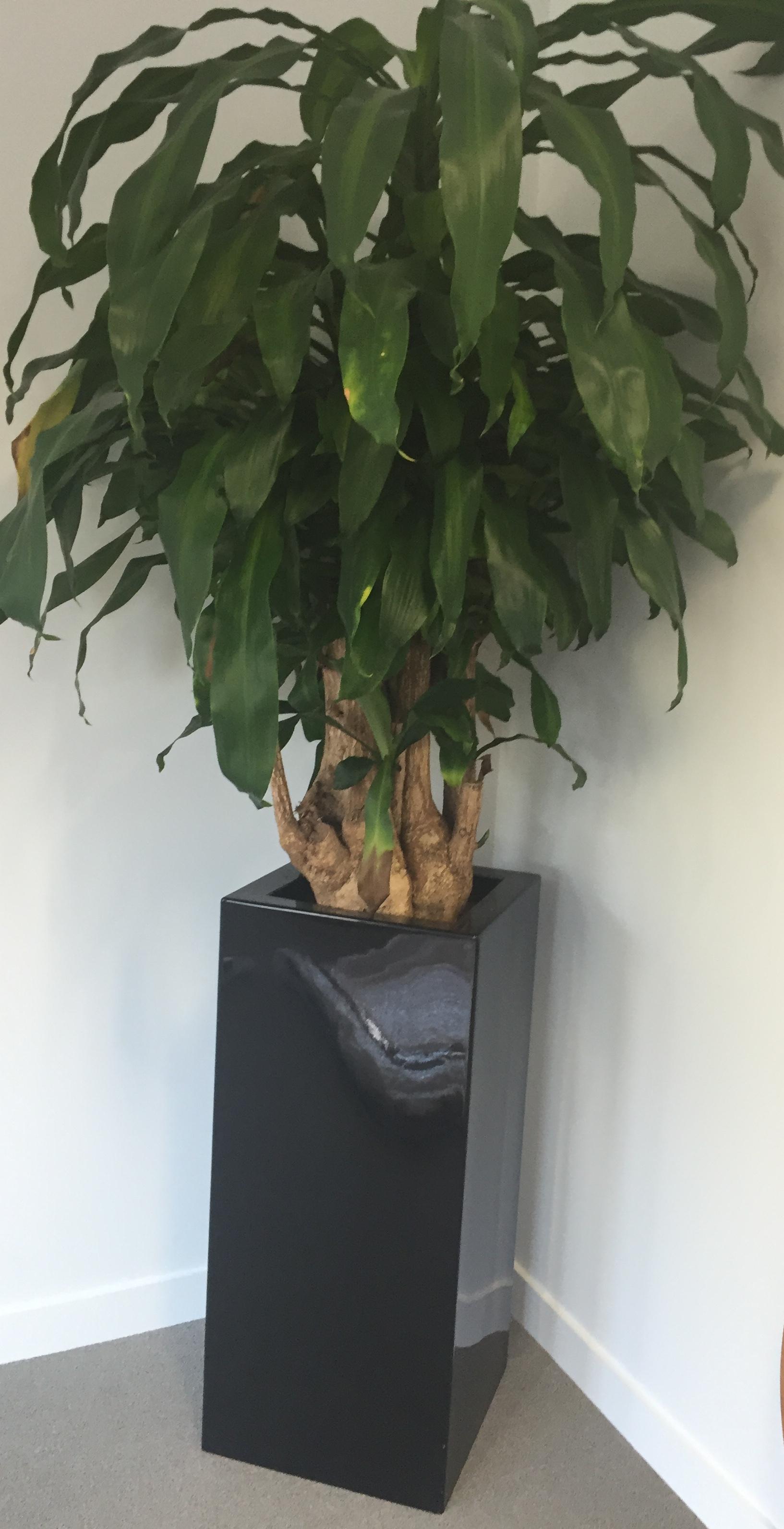 Lot 15 - 2x Large Potted Plants