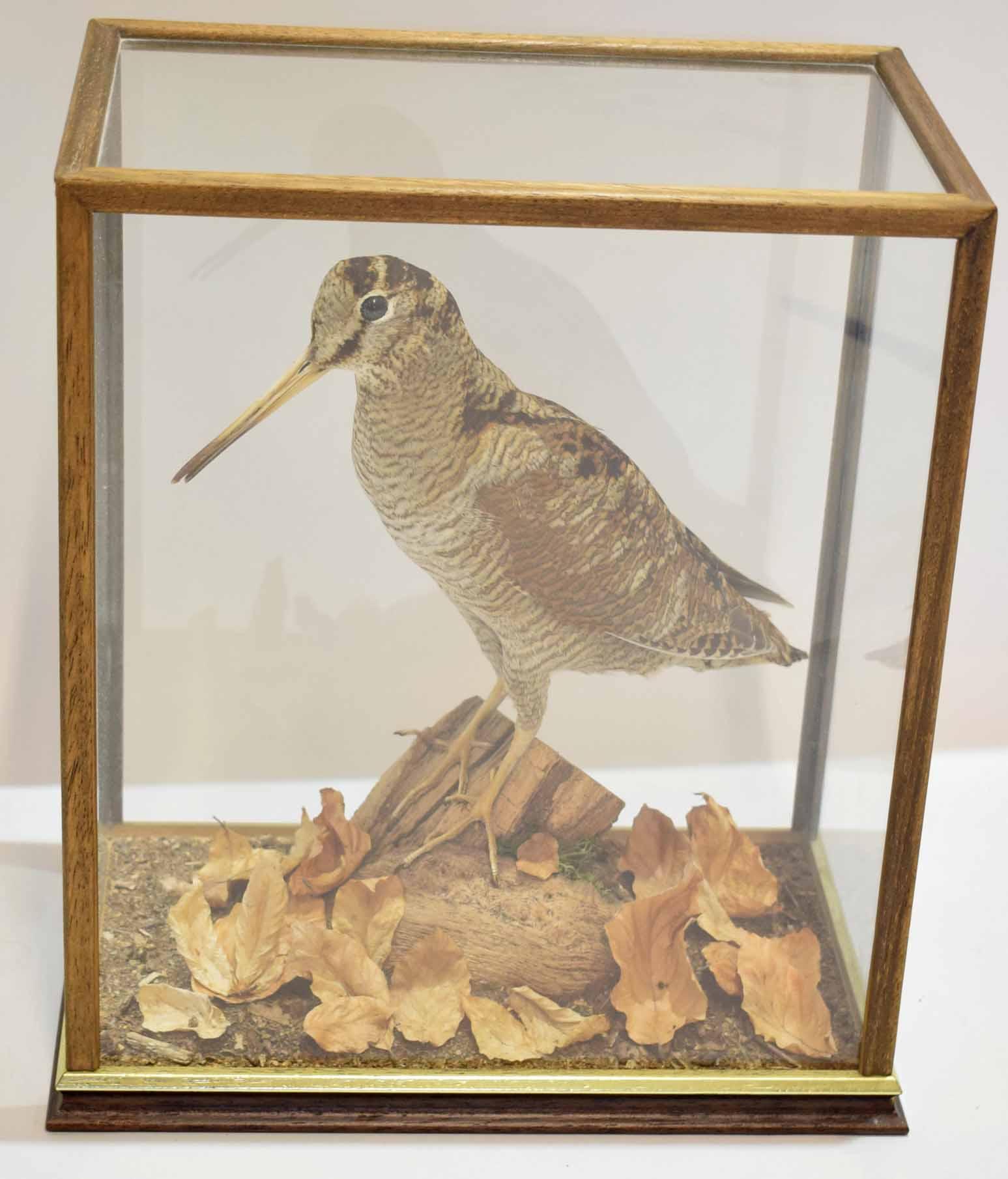 Lot 483 - Taxidermy woodcock in a glazed case, 29cm wide