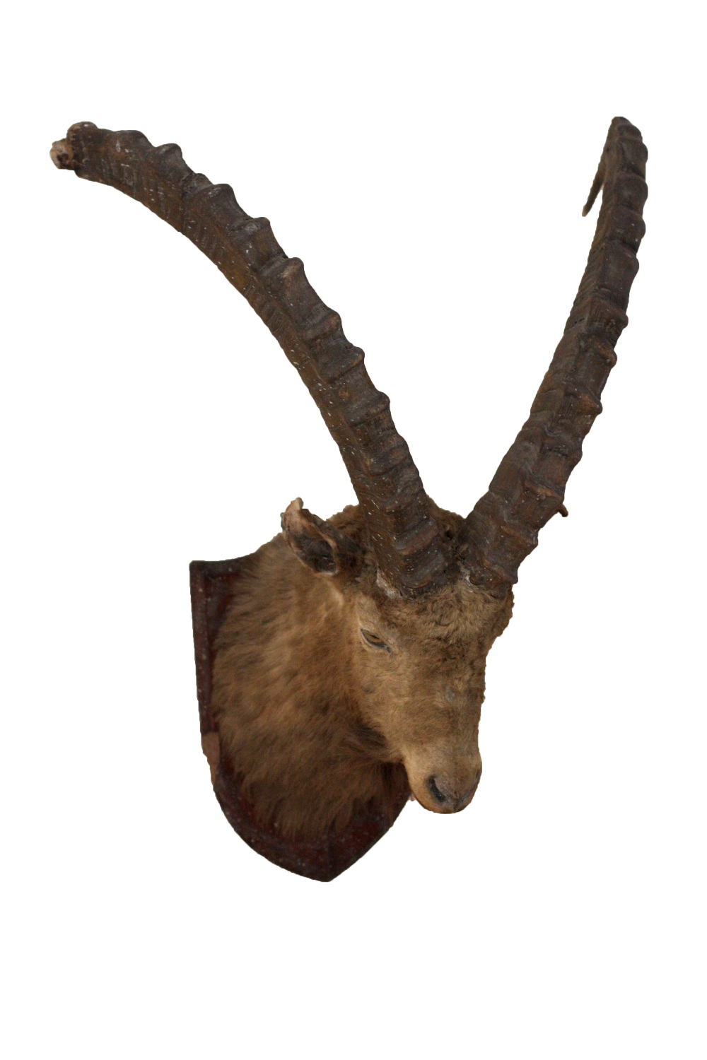 Lot 19 - Taxidermy: A specimen Head of a Mountain