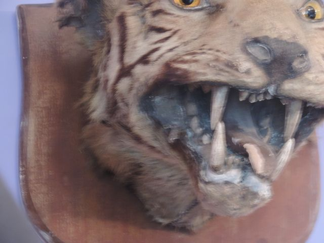 "Lot 56A - Taxidermy: A Natural History Specimen ""Head of Tiger Snarling"" mounted on shaped wooden back board,"