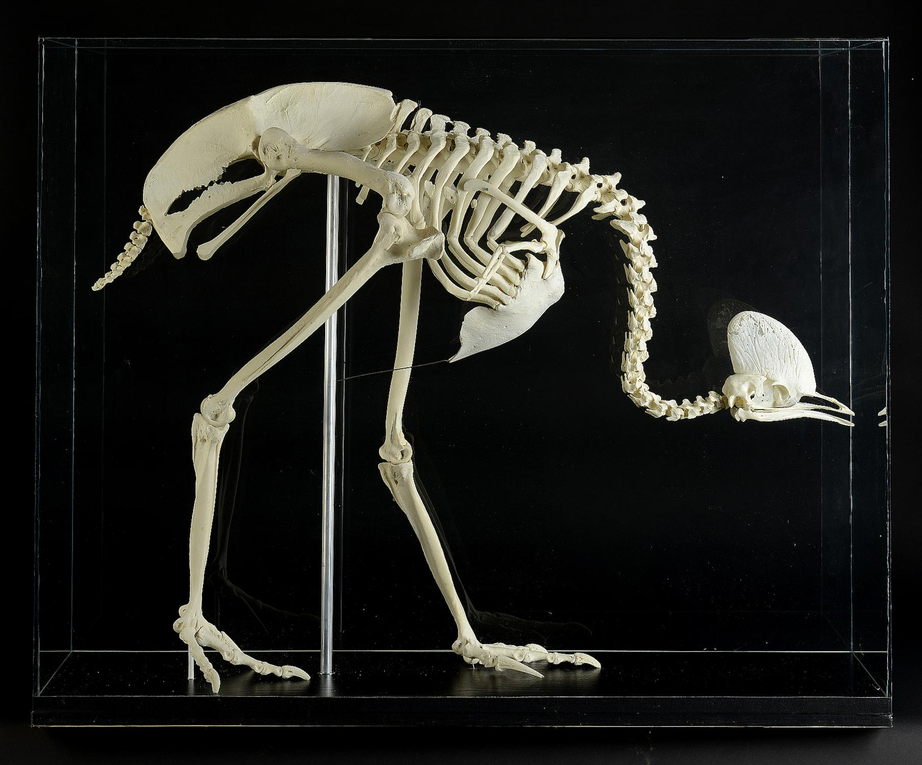 Natural History: A Cassowary skeleton in glass case modern ... - photo#3