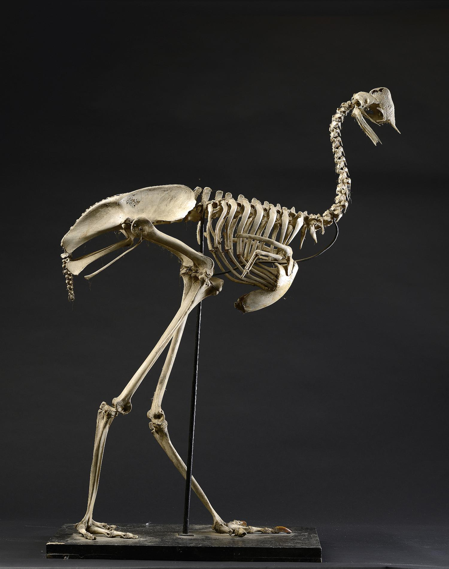 Natural History: A Cassowary skeleton early 20th century ... - photo#1