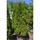 THUJA OCCIDENTALIS EMERALDS