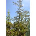 BLUE ATLAS CEDAR 9'-10'