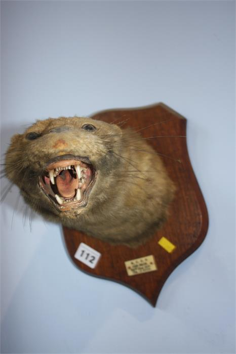 Lot 112 - Taxidermy - two wall mounted Weasel heads.