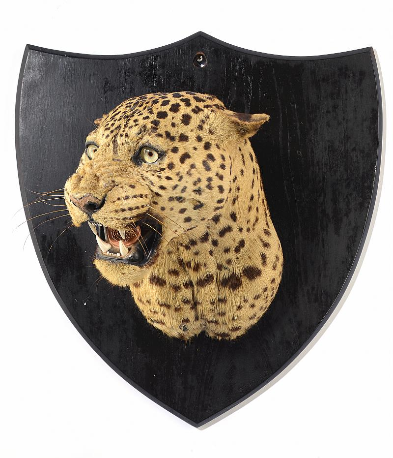 Lot 63 - Taxidermy: A magnificent Leopard head mounted on a large shield and labelled Tocher & Tocher early