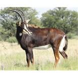ZAMBIAN COW 1 FEMALE