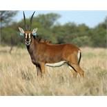 "INTERMEDIATE COW IN CALF TO 44"" ZAMBIAN BULL ATLAS - 1 FEMALE"