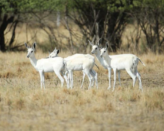 Lot 14 - WHITE SPRINGBOK EWES - 5 FEMALES