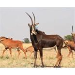 "MATETSI COW WITH HEIFER CALF WALKING 50+"" ZAMBIAN BULL LOMBA - 1 + 1 FEMALE"